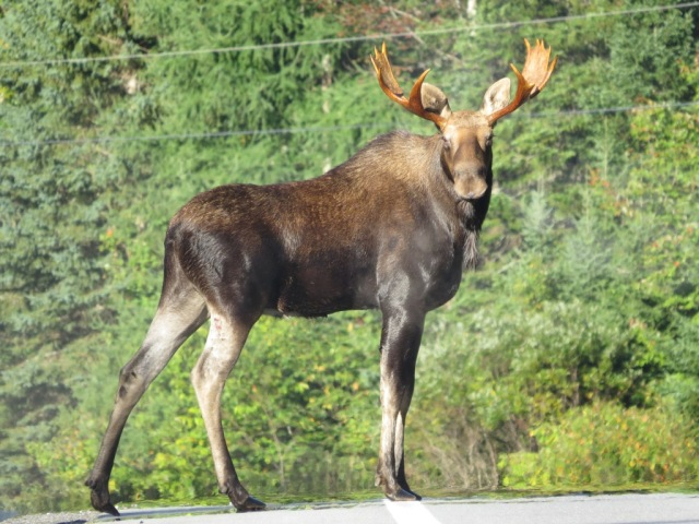 Bull moose spotted this fall in Long Lake.
