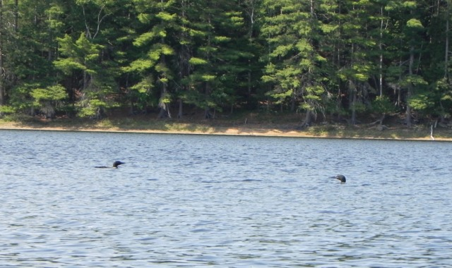 My loon friends reappear the day after the census.